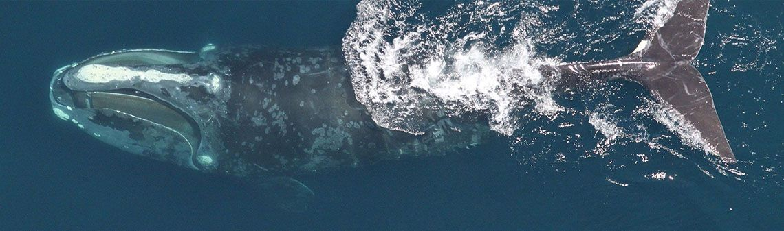 deepsense.io's Data Scientists Help to Save Endangered Right Whales with Deep Learning